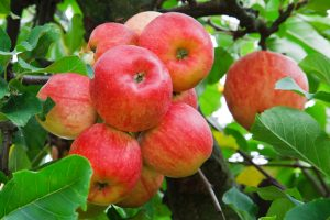Benefits of Pure Organic Apple Cider Vinegar